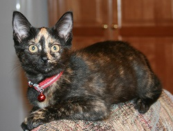 photo of Minx, a calico cat